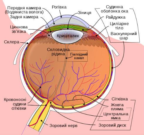 як влаштована зіниця ока