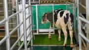 Коров в Германии учат ходить в туалет. Это поможет снизить парниковый эффект